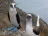 27-he-aqui-una-pareja-de-piqueros-de-patas-azules-en-la-isla-de-la-plata