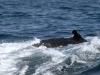 29-en-el-recorrido-en-barco-de-puerto-lopez-a-isla-de-la-plata-mas-de-una-ballena-jorobada-nos-acompanno