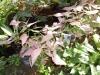 36-singonium-rosado