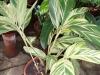 49-colonia-variegata