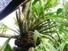 61-canuela-o-orquidea-de-la-region-oriental