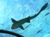 24-tiburon-blanco