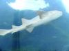 27-tiburon-blanco