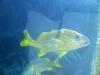 28-pez-del-tiburonario