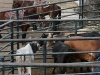 a los toros los agarran y halan por la cola