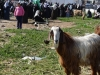 7-a-bemused-goat-watched-the-action