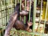 40-chimpance