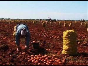 La cosecha de papa no está dando los resultados esperados en el 2013. Foto: cafefuerte.com