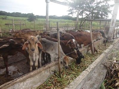 Los beneficios de la inseminación artificial también podrían llegar a esta finca de Guáimaro. Foto tomada del blog gelenporcuba.