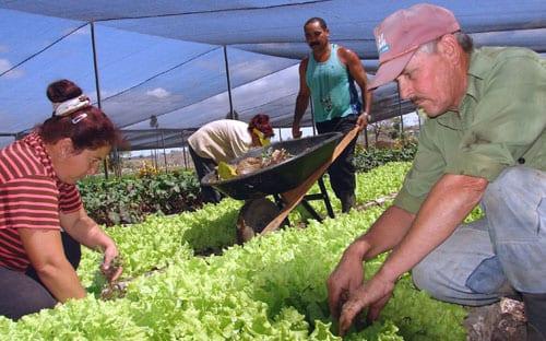 Lechuga orgánico en Holguín. Foto: Agustin Borrego/ Guamuta, Matanzas.