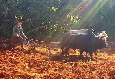 Mientras los tractores se detienen, Cuba regresa a los bueyes