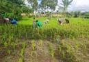 Deshierbando nuestro arroz orgánico – Foto del día